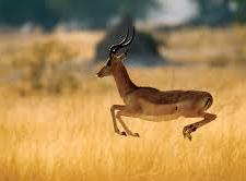 Gazelles (Virtual Runners) are invited too