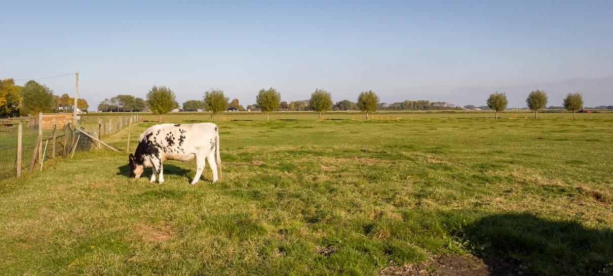 Weiland met grazende koe, Oostervalge, Warffum