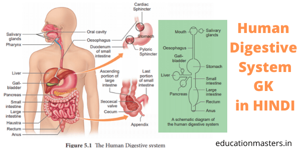 Human Digestive System gk in hindi UKPSC
