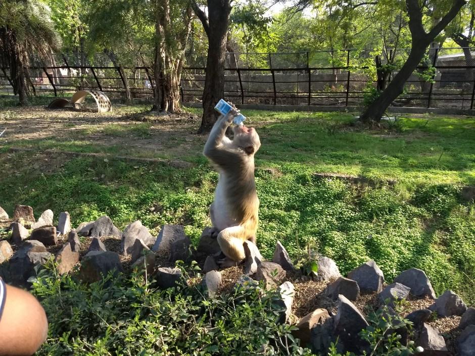 पिते हुए बंदर