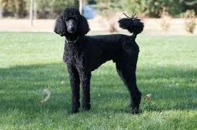 KNOW ABOUT THE  HUNTER DOG BREED–THE POODLE
