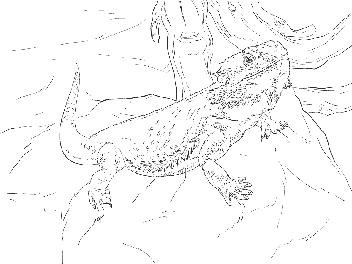 Bearded Dragon Coloring Page Full Documents