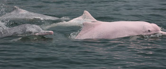Pink dolphin view