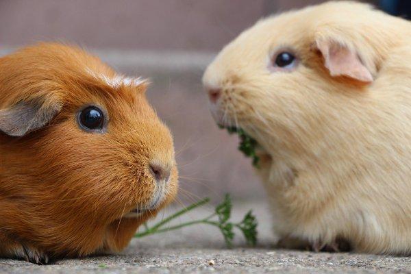 guinea pig, rodent, mammal