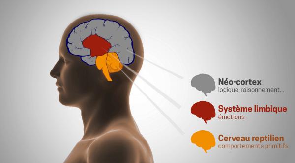 Schéma des 3 cerveaux (reptilien, limbique, néo-cortex)