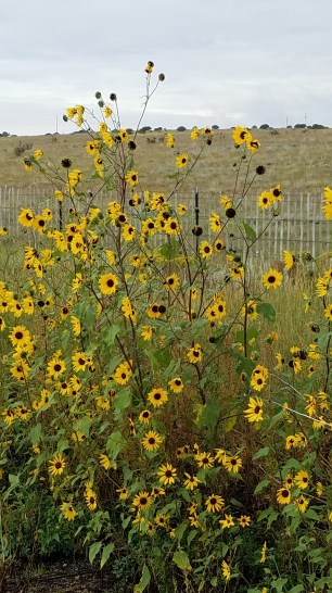 sunflowers-in-encino-nm