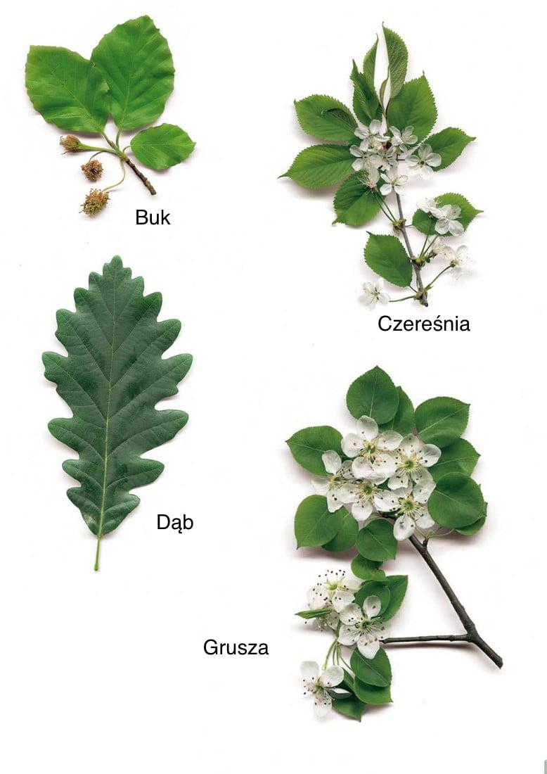 Jesienne liście - nazwy drzew Dzień Drzewa Jesień Plansze edukacyjne Święta i pory roku Wrzesień