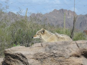 Coyote in Tucson
