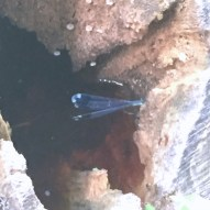 We saw this blue dragonfly hiding inside a rotted out stump.