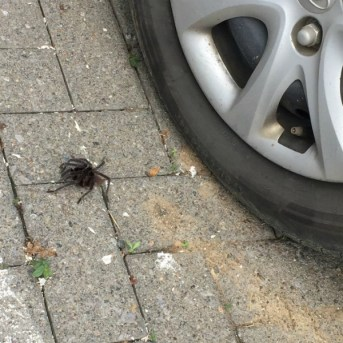 In the morning, a tarantula was waiting for us by the car.