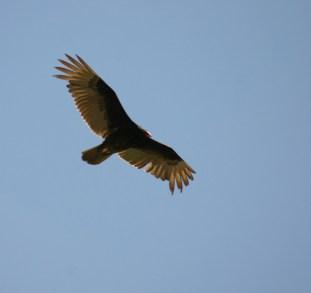Turkey vulture in flight. Photo by Scott Root, Utah Division of Wildlife Resources.