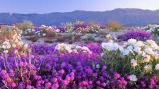 beautiful_desert_flowers