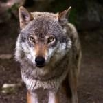 Hunt ründas Soomes koera