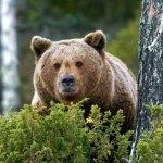 Politsei hoiatab Padasjoki vallas liikuva suure karu eest
