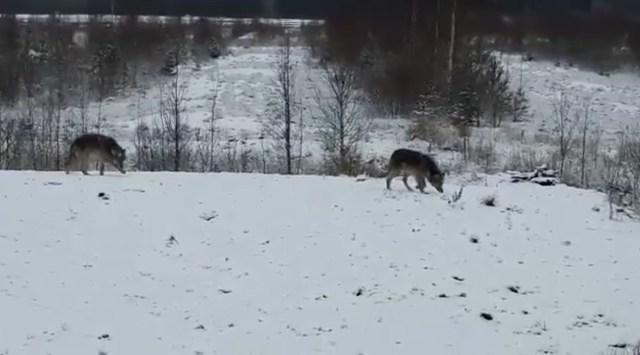 Hundid tulid Soomes inimesest vaid mõne meetri kaugusele
