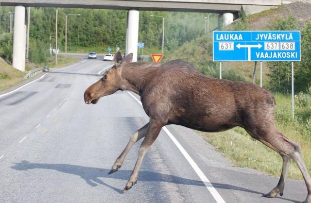 Helsingis nähti liikumas põtra, loom pandi lõpuks magama
