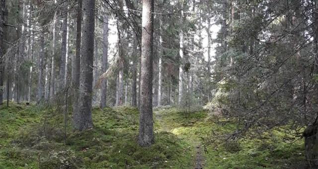 Valus löök Soomele: Kliimanõukogu tahab hakata metsa raiumist piirama