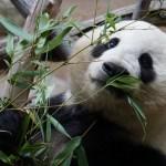 Pandadest polnud abi: Soome loomapark sai miljonilise kahju, koondab töötajaid