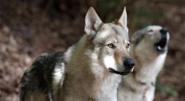 Erakordne juhtum Soomes: koera ja hundi hübriide kasvatanud naine vangistati