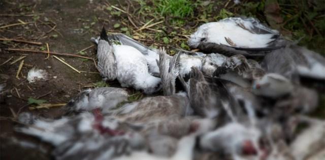 Õuduste hommik Soome loomaaias: mink murdis loomakliinikus 26 linnupoega
