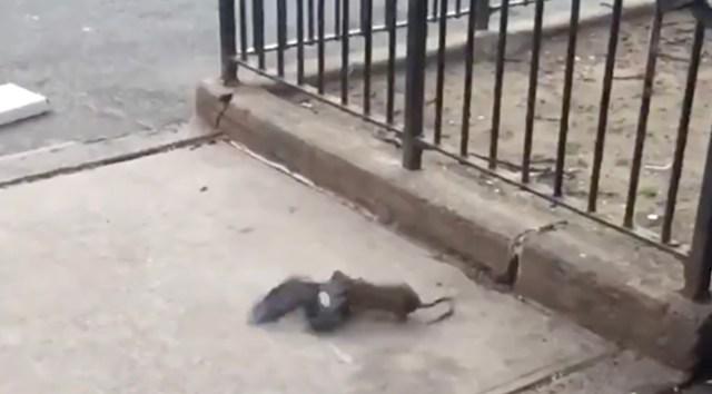Kõhe video: rott üritab maha murda tuvi, kelle inimene lõpuks päästab