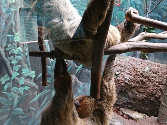 のいち動物公園のナマケモノ