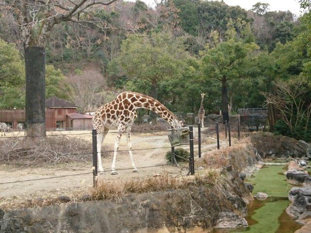 のいち動物公園のキリン