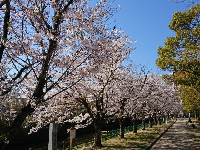 城西公園の桜2