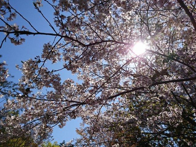 五台山の桜2