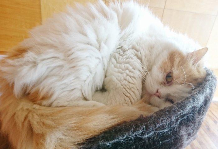 夢猫の大きな猫