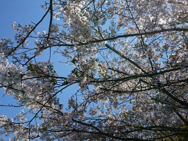 観月坂の桜2