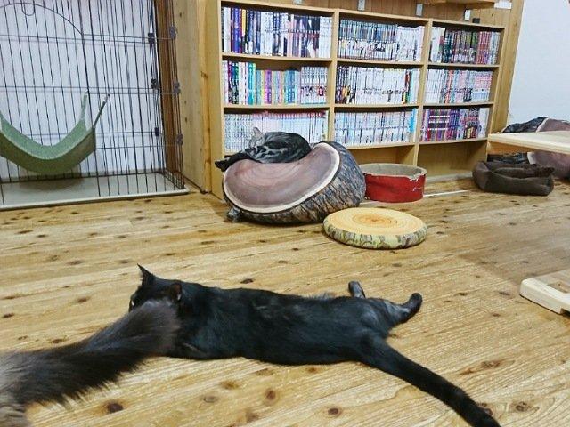 ネコカフェ猫nova:猫1