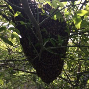 A typical cluster of bees