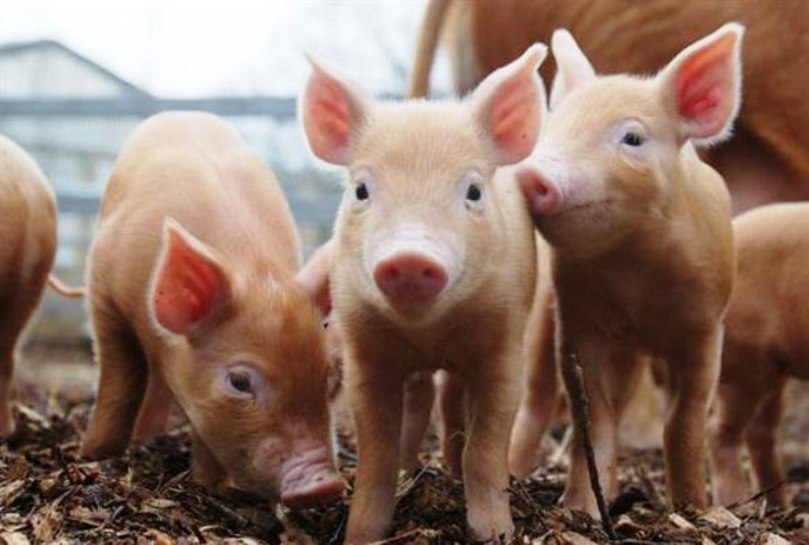 Pork sector: good indicators in 2018 in a non-profitable context