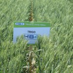 Bioceres receives regulatory approval for HB4 wheat in Argentina