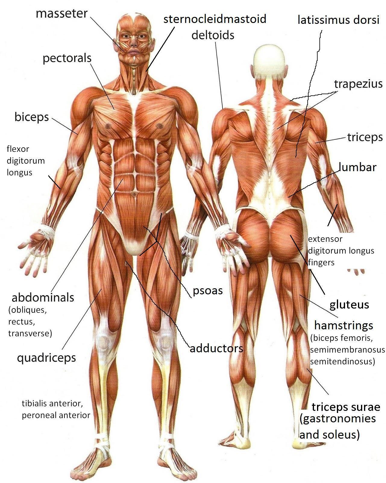 Musculos Del Cuerpo Humano Espanol E Ingles