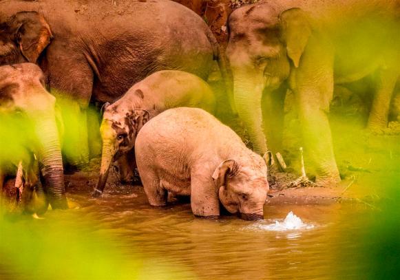 Los elefantes llegan a un río para tomar agua y retozan. Photo by Li Xingyu