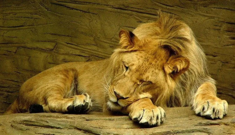 Cronotipo león