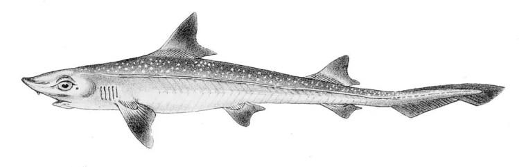 La especie de tiburón Musola lisa (conocido en Canarias como Cazón).