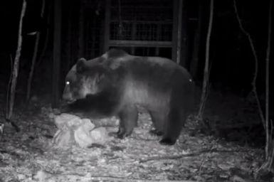 aprile 2018, l'orso Mirtillo poco prima della cattura e predisposizione el collare (1)