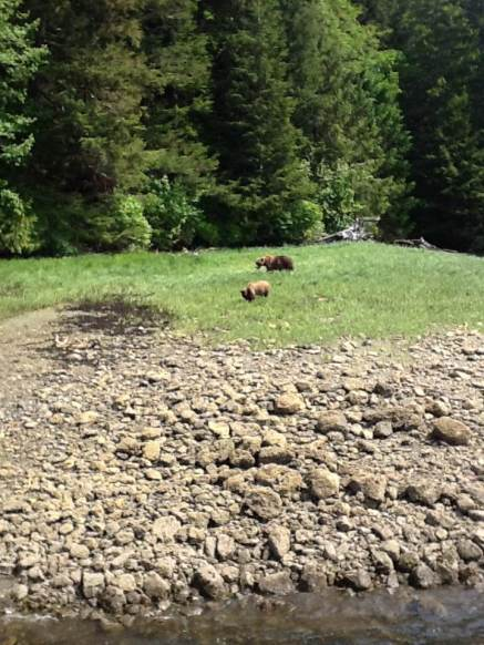 Grizzly bears in Khutzeymateen Valley