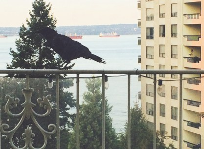 Our pet crow