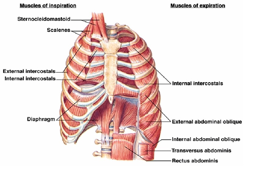 Location Of Diaphragm And Intercostals
