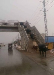 Herdsmen use pedestrian bridge to safely cross the road for their cows (Photos)