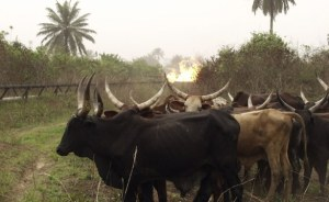 Disease kills 23 cows, infects 63 in Katsina