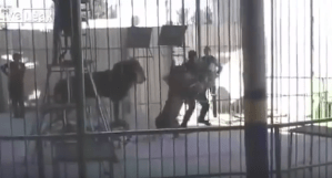 Shocking! Tamer mauled to death by lion at circus in Egypt (Graphic Video + Photo)
