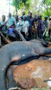 See the big elephant a hunter killed in Ondo State (Photos)