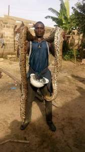 Check out this big python caught in Ofoni in Bayelsa state. (Photos)