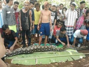 HORRIFYING: 27ft Killer Python swallows mother of 2 in Indonesia (Graphic Video & Photos)