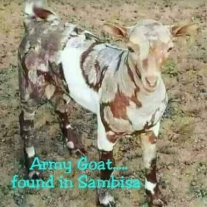 Check out this goat painted in army camouflage found in Sambissa (Photos)